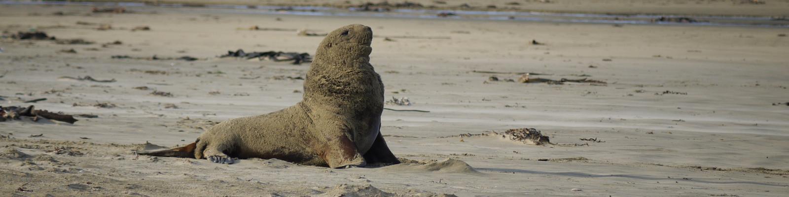 Lion de mer - Canibal Bay - Nouvelle-zélande - 2010